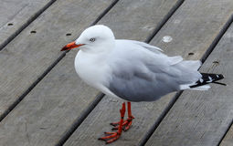 Silver gull at the pier Royalty Free Stock Photography