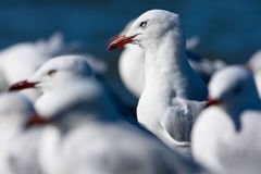 Silver Gull portaint Royalty Free Stock Photo