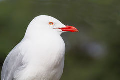 Silver Gull Portrait Stock Image