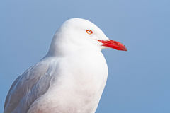 Silver Gull Portrait Stock Photography