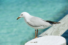 Silver gull Royalty Free Stock Photos