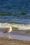 Silver gull on romanian beach stock photography