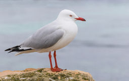 Silver Gull on Rottnest Island Royalty Free Stock Photos