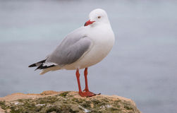 Silver Gull on Rottnest Island Stock Photo