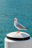 Silver Gull seabird screaming standing on white wooden pole at S Stock Image