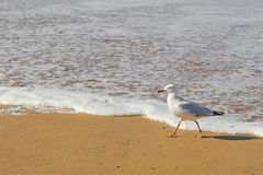 Silver Gull seabird walking along the beach in the afternoon Stock Images