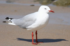 Silver Gull Seagul Larus novaehollandiae at the beach Stock Photos