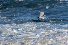 Silver Gull, Seagull seabird flying above sea water with food in. Silver Gull, Seagull seabird with scarlet legs, bill, eye ring flying above sea water with food Stock Image