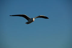Silver Gull soaring. Stock Image