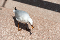 The silver gull in Sydney, Australia eating food Royalty Free Stock Photos