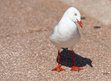 The silver gull in Sydney, Australia. Looking Right. Royalty Free Stock Photo