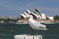 Silver Gull in Sydney Stock Photos