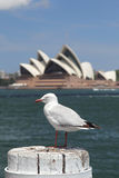 Silver Gull in Sydney Stock Photo