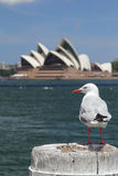 Silver Gull in Sydney Stock Images