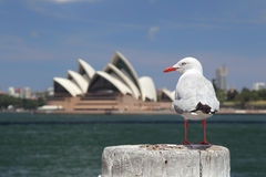 Silver Gull in Sydney Royalty Free Stock Images