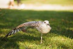 Silver gull in a park Stock Photos