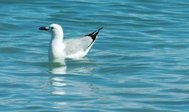 Silver gull on water Stock Image