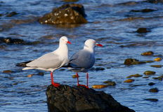 Silver Gulls Royalty Free Stock Photos
