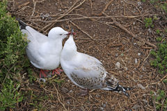 Silver Gulls Stock Photos