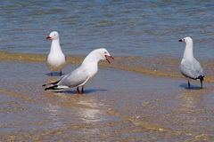 Silver Gulls Royalty Free Stock Photography