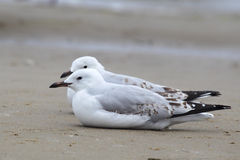Silver Gulls (Chroicocephalus novaehollandiae) Royalty Free Stock Photography