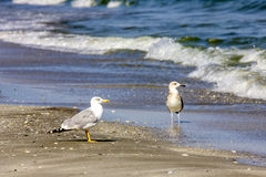 Silver gulls on romanian beach Royalty Free Stock Photo