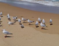 Silver gulls at the waterfront of the ocean Royalty Free Stock Image