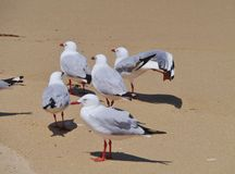Silver gulls at the waterfront of the ocean Royalty Free Stock Photography