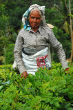 Silver-Haired Tea Plucker. Ceylon tea is known all over the world for its taste and flavor. Only Tamil women work at the plantations in Sri Lanka. It's a very Royalty Free Stock Images