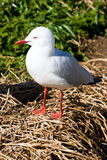 Silver Headed Gull Stock Images