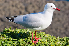 Silver Headed Gull on Cliff Stock Photo