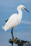 Silver heron (Ardea alba) Royalty Free Stock Image