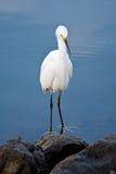 Silver heron (Ardea alba) Stock Photography