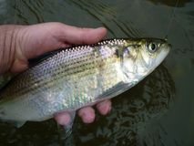 Silver Hickory Shad. Photo of hickory shad caught at deer creek in northern maryland. These hard fighting fish can be caught on small colorful or flashy fishing Royalty Free Stock Photo