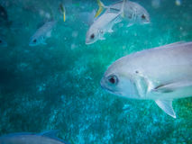 Silver horse eye jack fish with yellow tail Caranx latus in caribbean sea near Caye Caulker - Belize Stock Photo