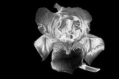 Silver iris flower.  Filtered image. Stock Photography