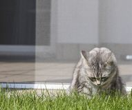 Cat eating grass green in the garden, silver color. Silver kitten outdoor. Siberian purebred cat on the grass green. Hypoalleegenic animal Stock Image