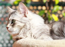 Silver kitten of siberian breed,female Royalty Free Stock Photos