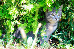 Silver kitty hiding Stock Photo