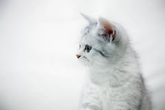 Silver kitty looking to the left Stock Images