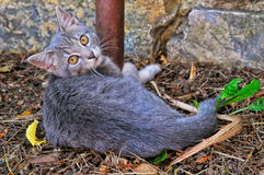 Silver kitty Royalty Free Stock Photography