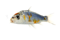Silver Koi Fish Royalty Free Stock Images