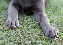 Silver Lab Paws Stock Photos