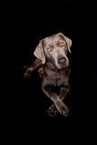 Silver labrador Royaltyfri Bild