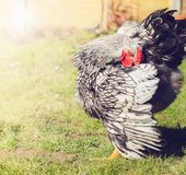 Silver laced cockerel in the garden. Close up, selective focus Stock Images