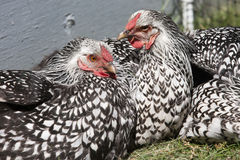 Silver Laced Wyadontte Hens. Royalty Free Stock Photography