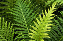 Silver Lady Fern Stock Images