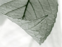 Silver Leaf Stock Images