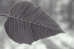Silver leaf. Poinsettia leaf set against a wintery background stock image