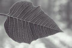 Silver leaf Stock Image